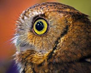 2019.03.09 Sunrise Wildlife at WBU Eastern Screech Owl Ruby 7