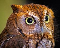 2019.03.09 Sunrise Wildlife at WBU Eastern Screech Owl Ruby 8