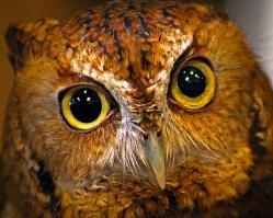 2019.03.09 Sunrise Wildlife at WBU Eastern Screech Owl Ruby 9
