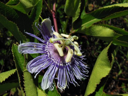 2017.05.06.La Chua Passion Flower
