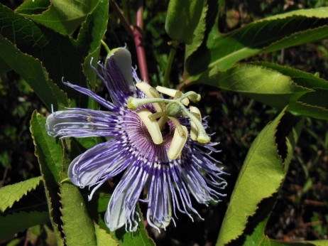 2017.05.06.La Chua Passion Flower