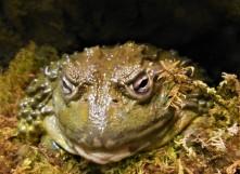 2017.05.14 Frogs@FLMNH African Bullfrog