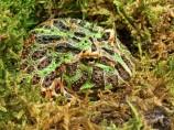 2017.05.14 Frogs@FLMNH Ornate Horned Frog