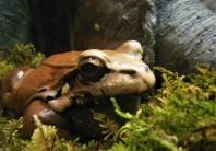 2017.05.14 Frogs@FLMNH Smokey Jungle Frog