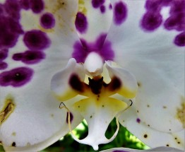 2017.05.20 Butterfly Rainforest Orchid