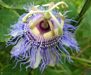 2017.06.03 La Chua Trail Passion Flower