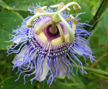 2017.06.03 La Chua Trail Passion Flower