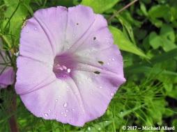 2017.06.19 La Chua Trail Flower.cr