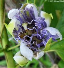 2017.06.19 La Chua Trail Passion Flower 1.cr