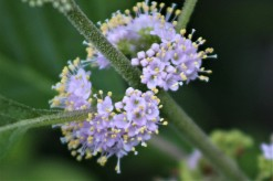 2017.07.11 La Chua Trail Flower