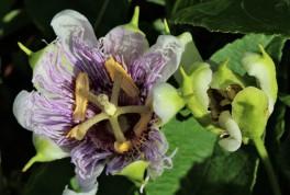2017.08.12 La Chua Trail Passion Flower 1