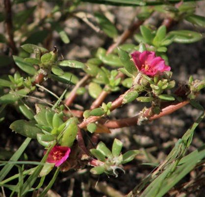 2017.08.19 La Chua Trail Flower