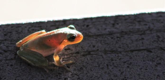 2017.08.19 La Chua Trail Frog 4