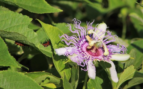 2017.08.19 La Chua Trail Passion Flower with Gulf Fritillary Caterpillar 1