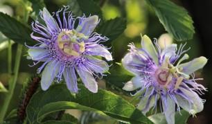 2017.08.19 La Chua Trail Passion Flower with Gulf Fritillary Caterpillar 2