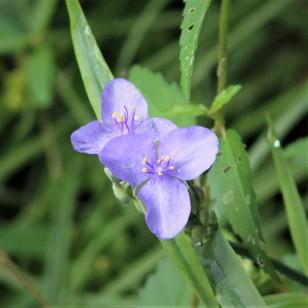 2017.09.02 La Chua Trail Flower 1