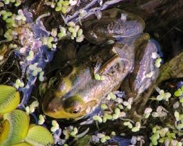 2017.11.20 La Chua Trail Frog 3