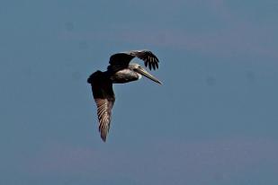 2017.11.25 Anastasia State Park Pelican 6
