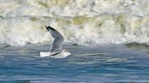 2017.11.25 Anastasia State Park Ring-billed Gull 3