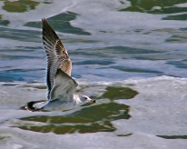 2017.11.25 Anastasia State Park Ring-billed Gull 4