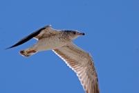 2017.11.25 Anastasia State Park Ring-billed Gull 5