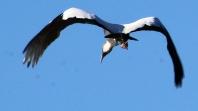 2017.12.25 La Chua Trail Wood Stork Art 1