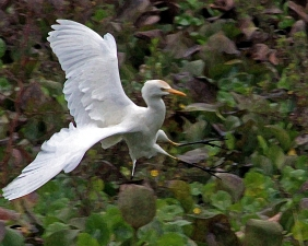 2017.12.28 La Chua Cattle Egret 5.art.cropped