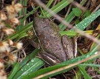 2017.12.28 La Chua Frog 1