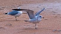 2017.12.30 Anastasia State Park Ring-Billed Gull 4