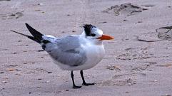 2017.12.30 Anastasia State Park Tern 1