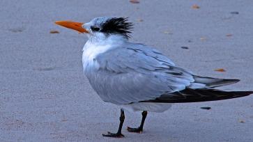 2017.12.30 Anastasia State Park Tern 2