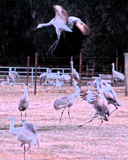 2018.01.06 Beef Teaching Unit Sandhill Cranes 20.art