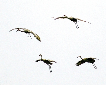 2018.01.13 Beef Teaching Unit Sandhill Cranes Art 2