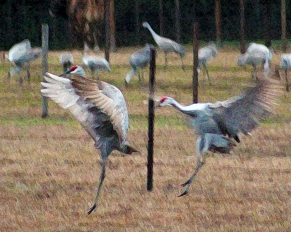 2018.01.13 Beef Teaching Unit Sandhill Cranes Art 4