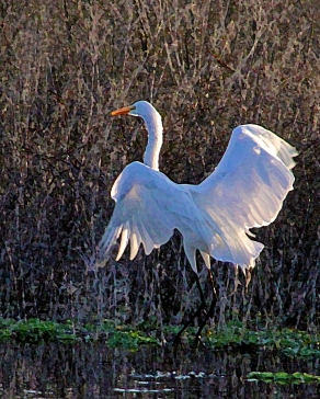2018.02.18 La Chua Trail Egret 5.art
