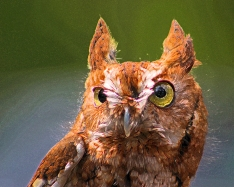 2018.03.10 Sunrise Wildlife Rehabilitation @Devil's Millhopper Eastern Screech Owl 'Ruby' 7.art