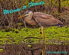 2018.03.11 La Chua Trail Great Blue Heron 2 art Vintage PCard