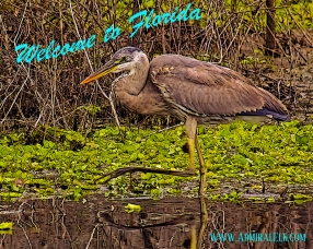 2018.03.11 La Chua Trail Great Blue Heron 2 art Vintage PCard