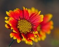 2018.03.13 Silver Springs Indian Flower 1
