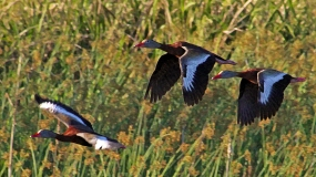 2018.03.24 Sweetwater Branch Wetlands Black-bellied Whistling Ducks 1 art