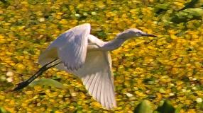 2018.03.24 Sweetwater Branch Wetlands Egret 1.art