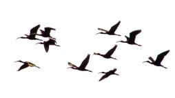 2018.03.24 Sweetwater Branch Wetlands Glossy Ibis art