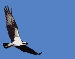 2018.03.24 Sweetwater Branch Wetlands Osprey 1.art