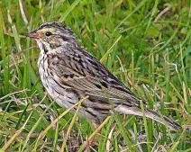 2018.03.24 Sweetwater Branch Wetlands Savannah Sparrow 2 art