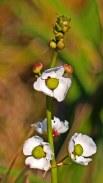 2018.04.29 Sweetwater Branch Wetlands Flower 1