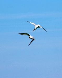2018.06.05 Anastasia State Park Royal Tern 1.art