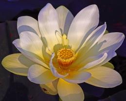 2018.06.20 Sweetwater Wetlands Lotus 1