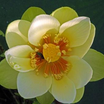 2018.06.20 Sweetwater Wetlands Lotus 3