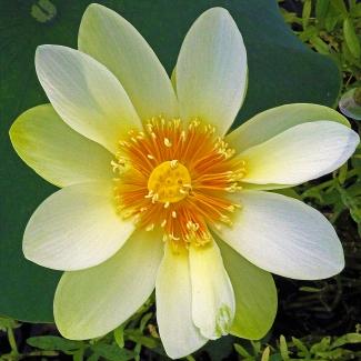 2018.06.20 Sweetwater Wetlands Lotus 4
