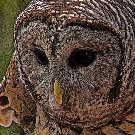 2018.12.08 Sunrise Wildlife Rehabilitation at Devil's Millhopper Barred Owl 1 art.cropped 2